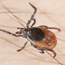 a deer tick crawling along the arm air of a hartford conneticut resident