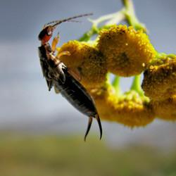 an earwig on yellow flowers