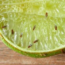 a cluster of fruit flies feasting on a lime that is set on a new england kitchen counter top