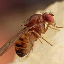 fruit fly eating fruit