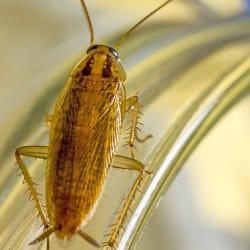 a german cockroach infestation inside of a springfield massachusetts kitchen