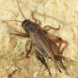 a house cricket on the ground