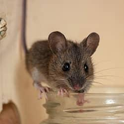 mouse on lid of jar