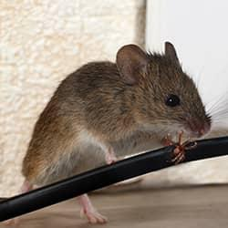Common Mistakes That Attract Mice To Massachusetts Homes