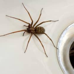 house spider found in sink