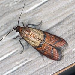 indian meal moth in hartford
