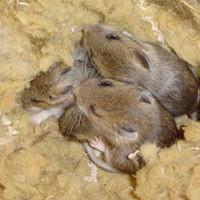 mice living in insulation