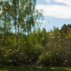a very large swarm of mosquitoes flying in clusters on a new england property