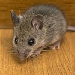 mouse in a springfield home