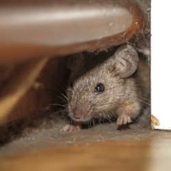mouse in wall void