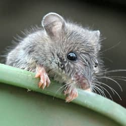 mouse found in pail