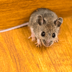 mouse found in springfield home