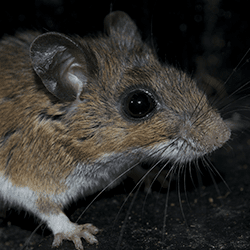 mouse up close in springfield home
