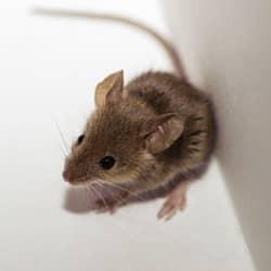 rodent found in a massachusetts basement