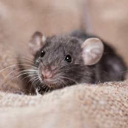 rodent found in springfield home