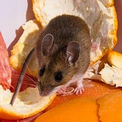 a house mouse scurring along a springfield massachusetts kitchen counter top