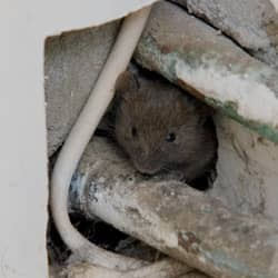 mouse in the walls of a springfield home