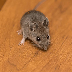 rodent in springfield home