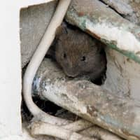 mouse found in a massachusetts home