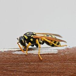 a aper wasp on a wooden fence