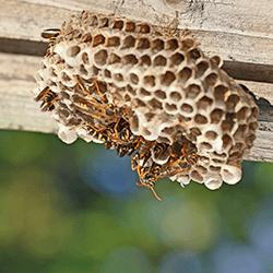 paper wasps up close