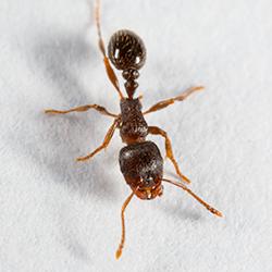 pavement ant up close