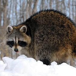 raccoon outside home