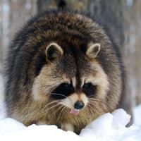 raccoon seeking winter shelter
