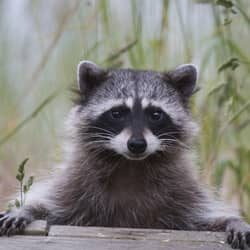 raccoon looking to enter a springfield home