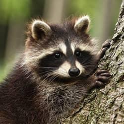 raccoon resting on tree
