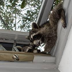 racoons invading a home