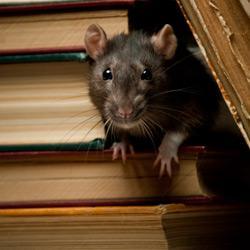 a rat sneaking between books