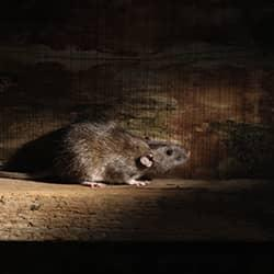 rodent seeking food and shelter