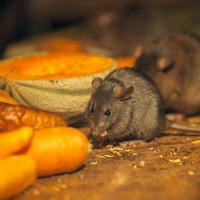 rodents eating food in a home