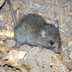 mouse found near a home in springfield