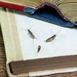 silverfish crawlig on a book