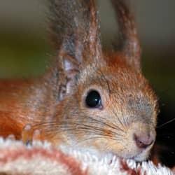 squirrel hiding in massachusetts home