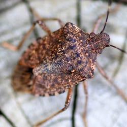 stink bug up close