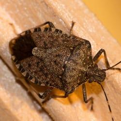 a stink bug infestation inside of a hartford connecticut home during late fall early winter