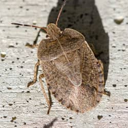 stink bug on foundation of springfield home