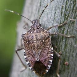 stink bug found in springfield ma
