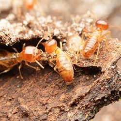 a swarm of termites chewing tunnels through a wooden structure on a hartford property