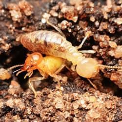 termites on gravel