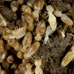 termites found in springfield