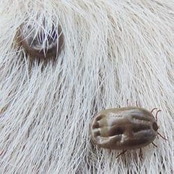 a cluster of disease carrying ticks on a long haired hartford connecticut pet