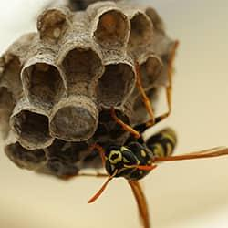 a swarming wasp nesting on its hive on a new england property