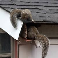 squirrels getting into attic space