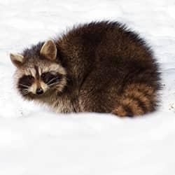 raccoon in the snow