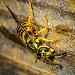 a yellowjacket crawling down the siding of a hartford tool shed in the late summer season