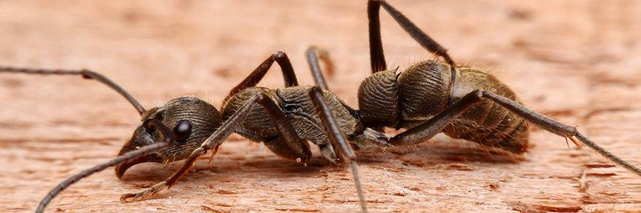 carpenter ant on wooden floor